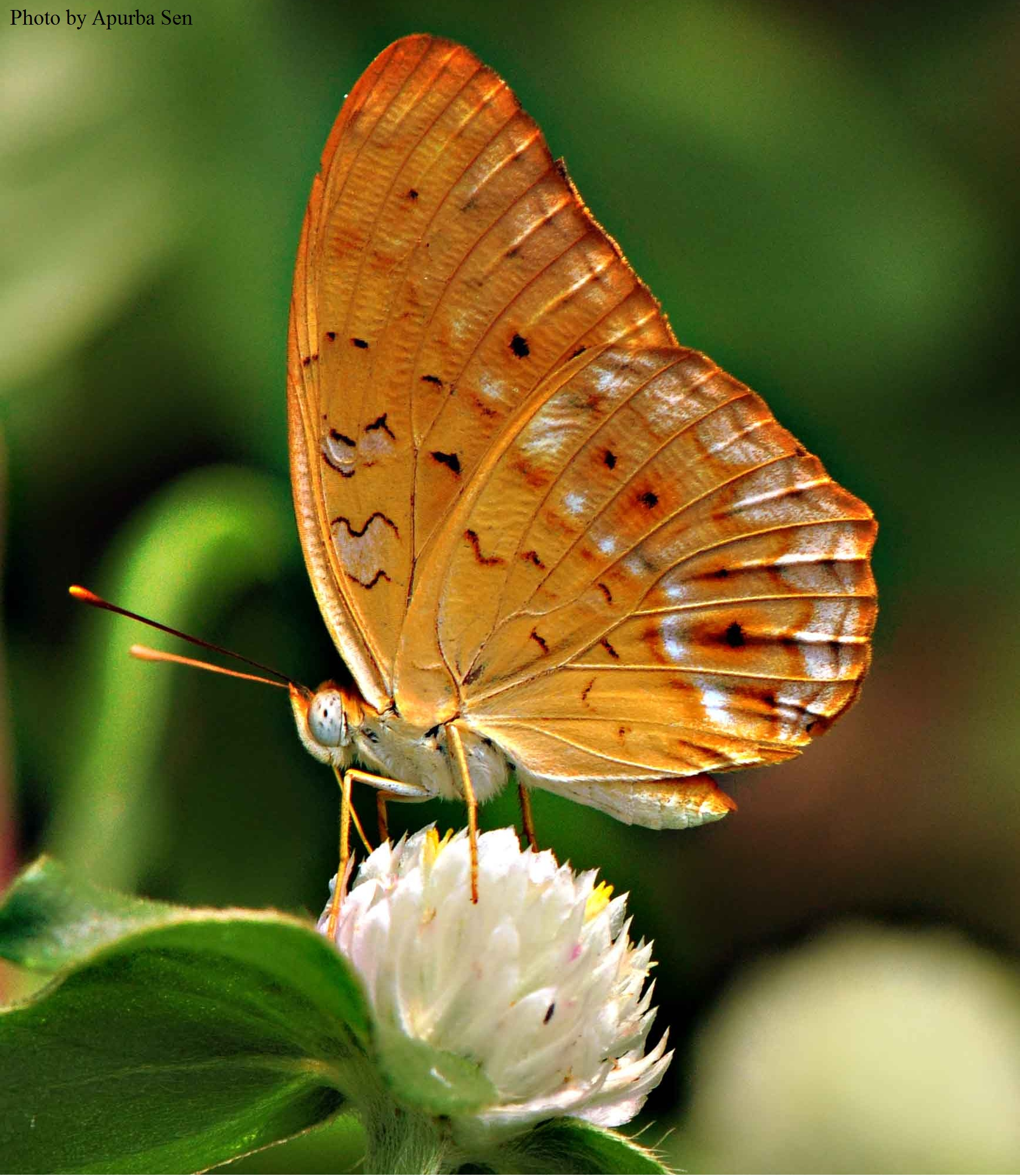 Butterflies<br> Nymphalidae( The Brush.