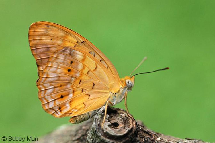 Butterflies of Singapore: Life History of the Leopard.