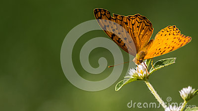 Common Leopard Butterfly Stock Photo.