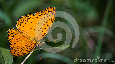 Common Leopard Butterfly Royalty Free Stock Photography.