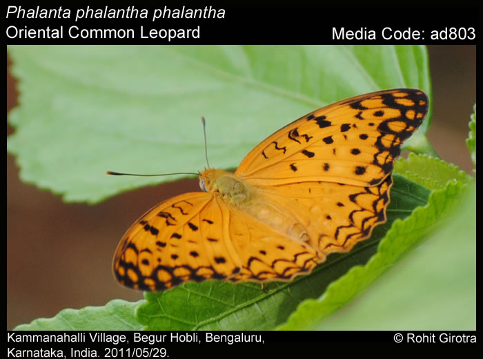 Phalanta phalantha.