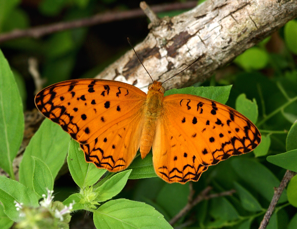 Butterflies of the Indian subcontinent.