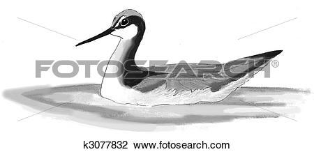 Clip Art of Wilsons Phalarope k3077832.