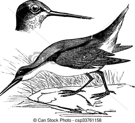 Clipart Vector of Wilson's Phalarope or Phalaropus tricolor.