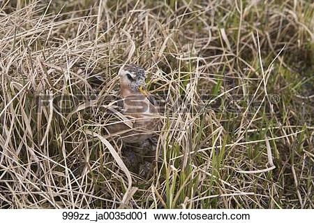 Stock Photography of Male Red Phalarope sits on nest, Arctic.