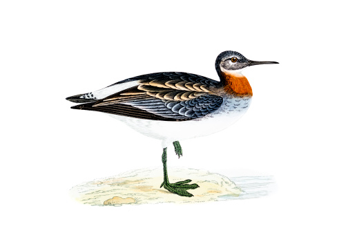 Red Necked Phalarope Clip Art, Vector Images & Illustrations.