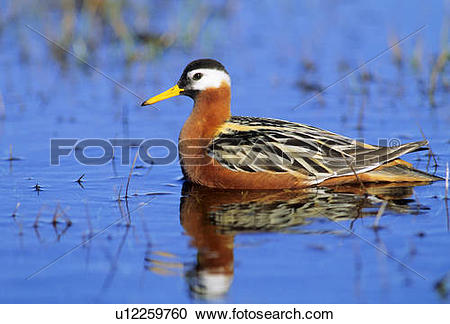 Stock Photography of Adult female red phalarope (Phalaropus.