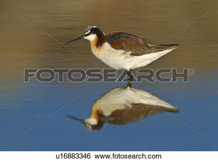 Stock Images of Female Wilson's Phalarope (Phalaropus tricolor) in.