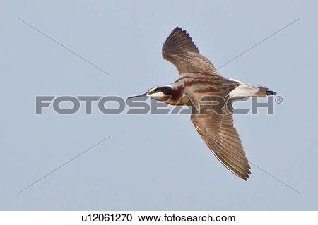 Stock Photography of Wilson's Phalarope (Phalaropus tricolor.