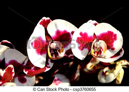 Stock Illustrations of orchid yu pin pearl phalaenopsis.