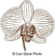 Phalaenopsis Clip Art Vector Graphics. 261 Phalaenopsis EPS.