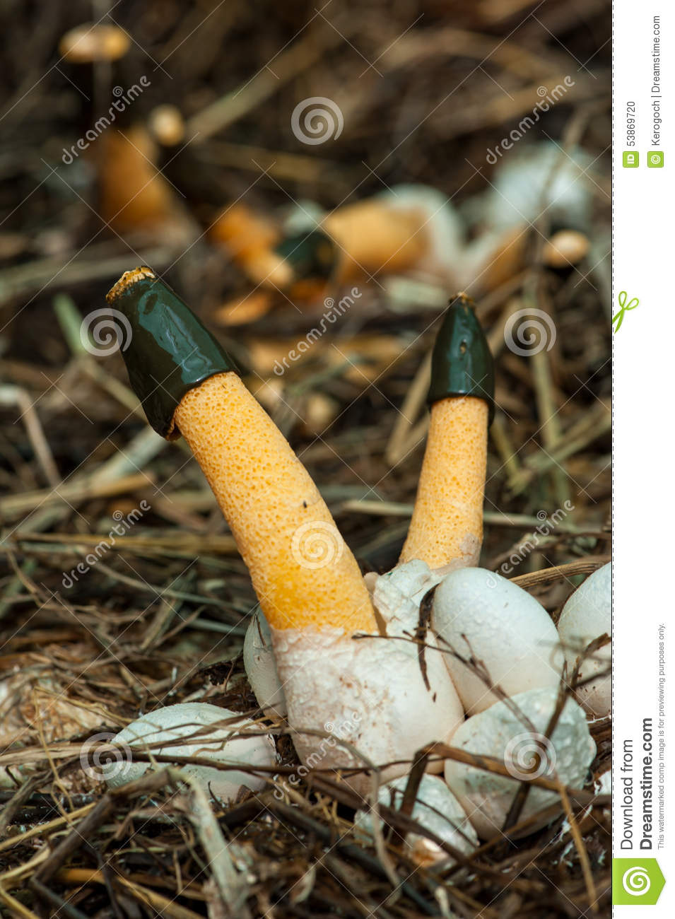 Orange Stinkhorn Fungi Cultivation Mushroom In Thailand, Stock.