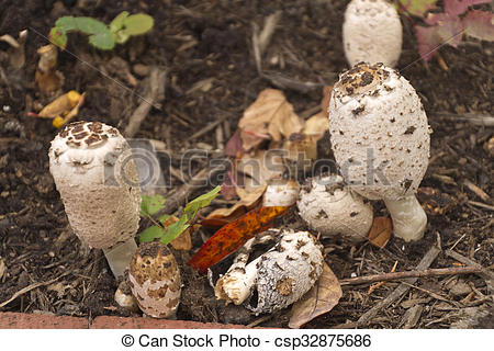 Pictures of Shaggy Mane (Lawyer's Wig) Mushrooms in Autumn.