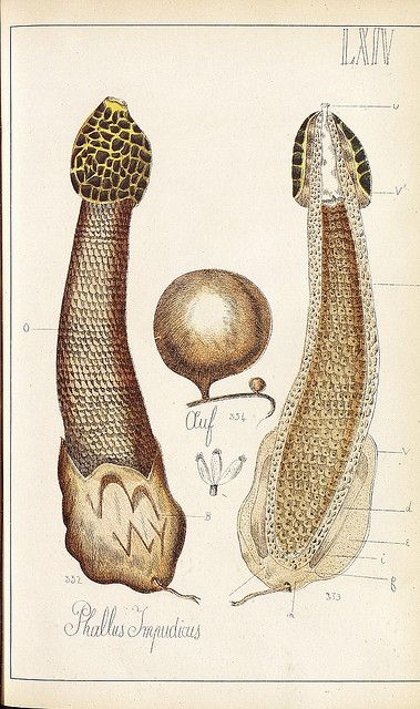 Phallus impudicus , is a widespread fungus recognizable for its.