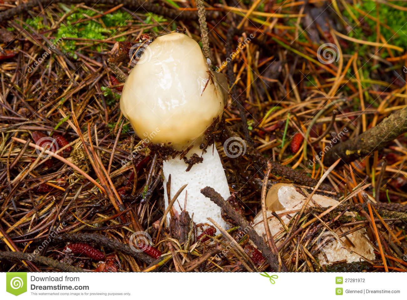 Stinkhorn Fungi.