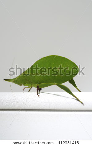 Phaneropterinae Stock Photos, Royalty.