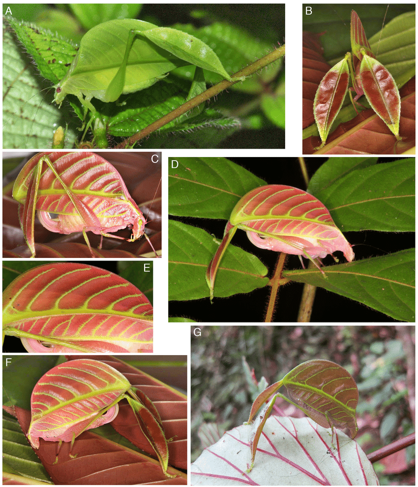 Remarkable katydid leaf mimics whose sexes are different colors.