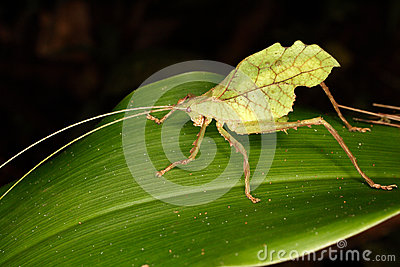 Grasshopper Insect Tropical Amazon Rainforest Stock Photos, Images.