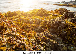 Pictures of Rocks and seaweed (Sargassum sp.), Phang Nga.