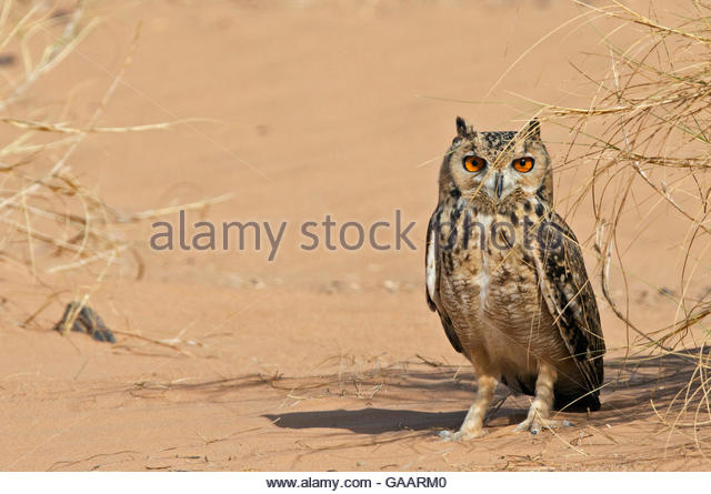 Desert Eagle Owl Stock Photos & Desert Eagle Owl Stock Images.