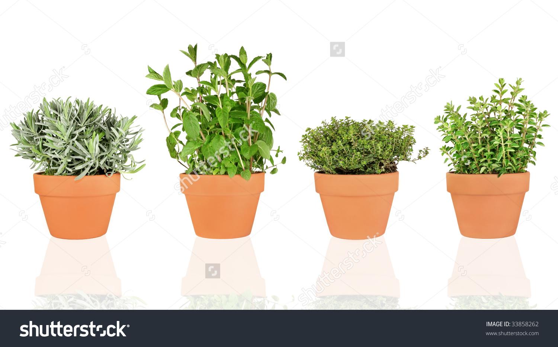 Lavender Mint Thyme Oregano Herbs Growing Stock Photo 33858262.