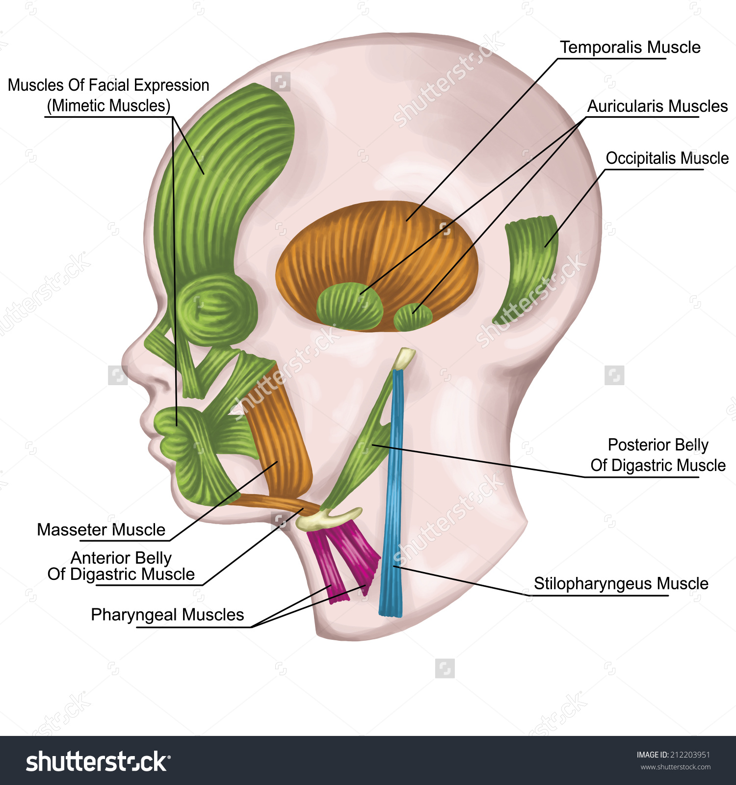 System Pharyngeal Branchial Arches Afte Sadler Stock Illustration.