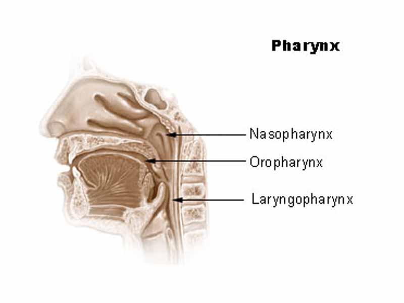 Pharynx Clipart.