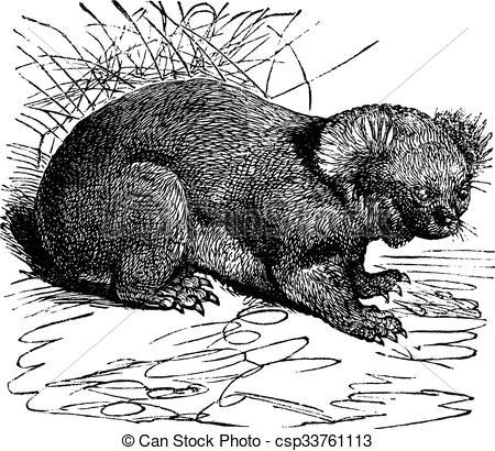 Vector Clip Art of Koala or Phascolarctos cinereus vintage.