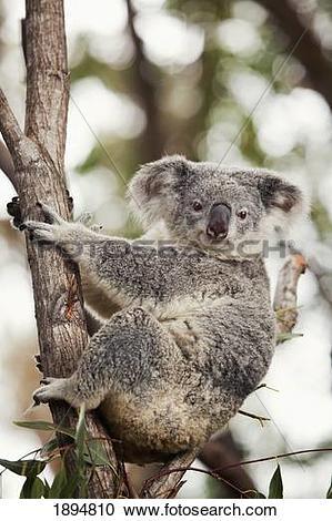 Stock Photography of a koala bear (phascolarctos cinereus) in a.