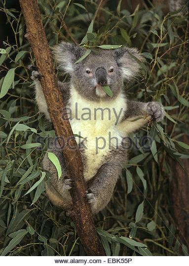 Koala Bears Stock Photos & Koala Bears Stock Images.
