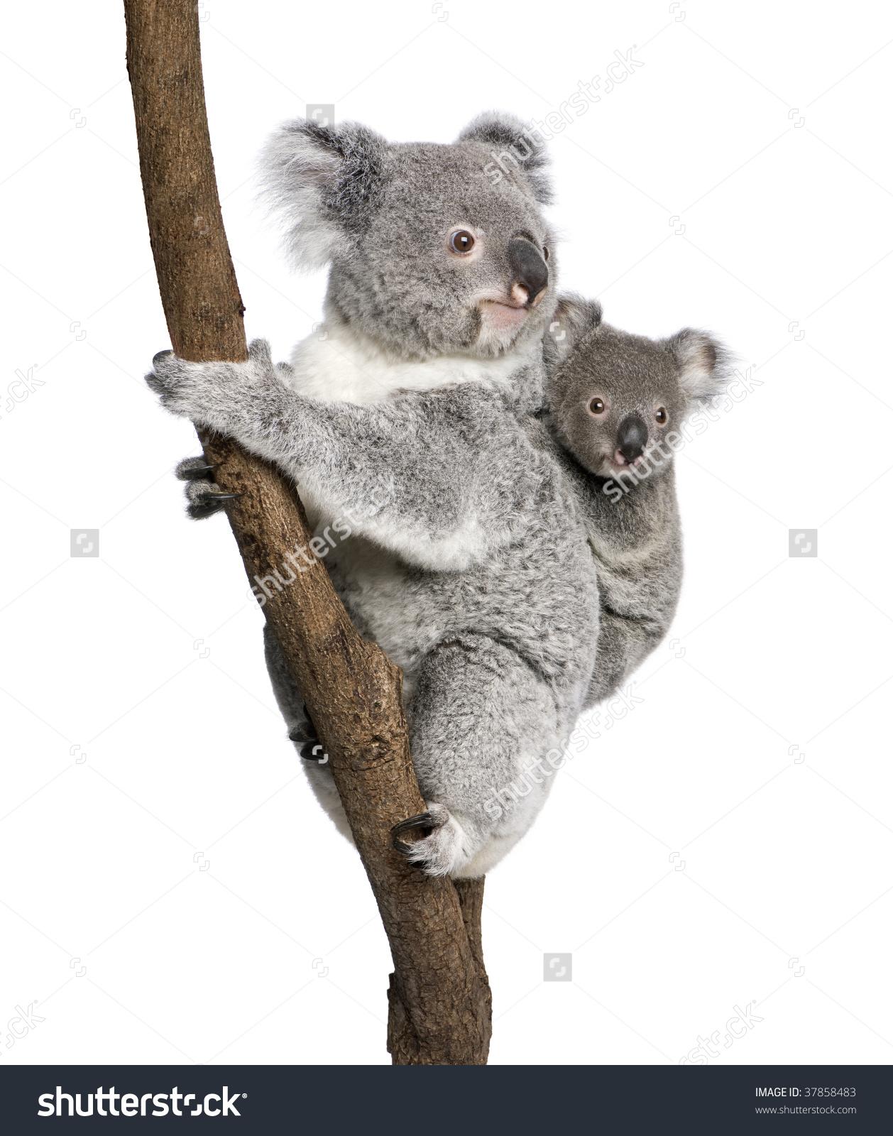 Koala Bears Climbing Tree 4 Years Stock Photo 37858483.