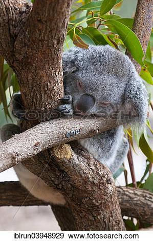 "Stock Photograph of ""Koala (Phascolarctos cinereus), Townsville."