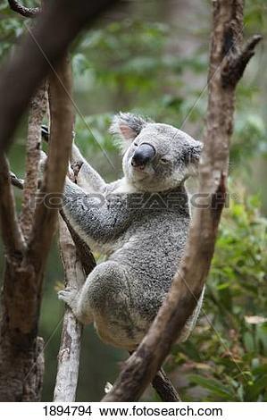 Stock Photo of a koala bear (phascolarctos cinereus) in a tree.
