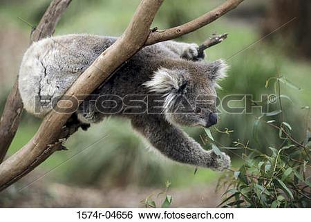 Stock Images of Koala Bear on a tree, Australia (Phascolarctos.