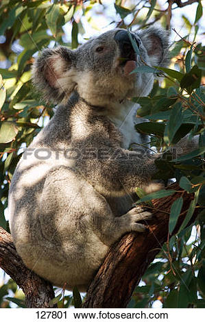 Stock Photography of koala.