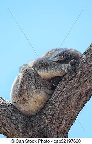 Stock Image of Koala (Phascolarctos cinereus)Victoria, Australien.