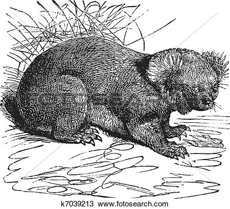 Clipart of Koala or Phascolarctos cinereus vintage engraving.