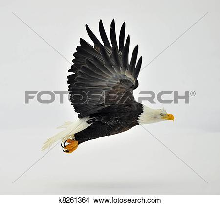 Stock Photo of Phase of flight of an Bald Eagle in flight over.