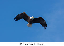 Stock Photos of Phase of flight of an Bald Eagle in flight over.