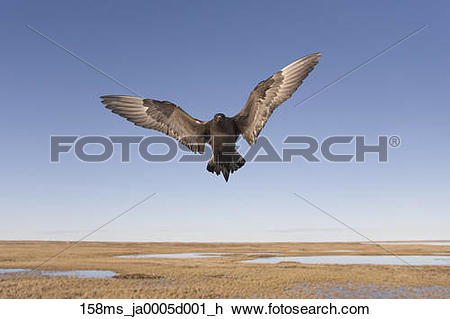 Stock Photo of Parasitic Jaeger in dark phase in flight defending.