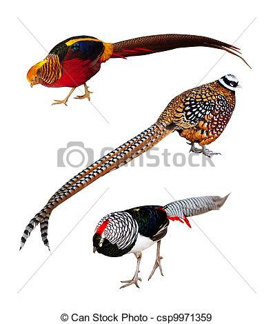 Stock Photographs of Set of Phasianidae birds. Isolated over white.