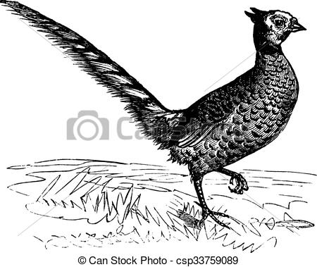Vector of Common Pheasant or Phasianus colchicus, vintage.
