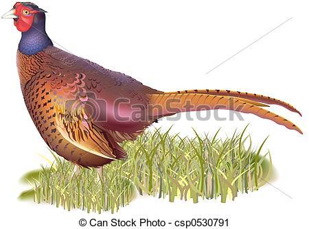 Clipart of Forest pheasant (Phasianus colchicus) csp0530791.