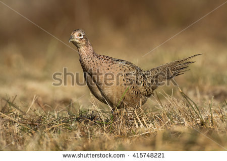 Phasianus Colchicus Stock Photos, Royalty.