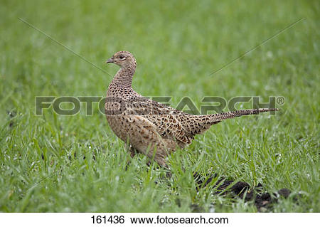 Stock Images of Common Pheasant (female).