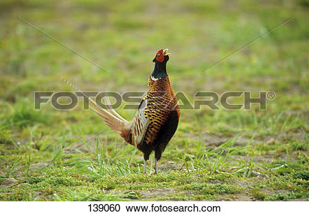 Stock Photography of pheasant.