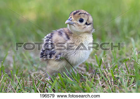 Stock Photograph of Common Pheasant, Ring.