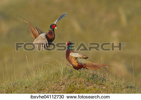 Stock Photography of Fighting male pheasants (Phasianus colchicus.