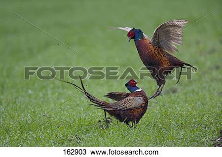 Stock Photo of Common Pheasant.