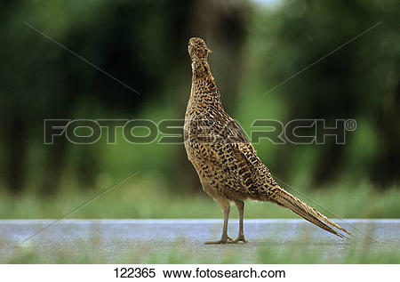 Stock Image of pheasant.